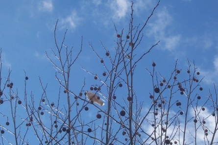 Alabama, dove, bird, tree, winter