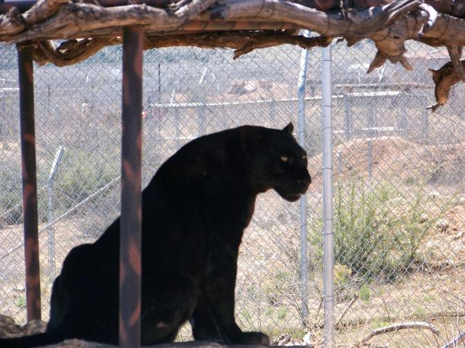 out of africa, arizona, preserve, jaguar