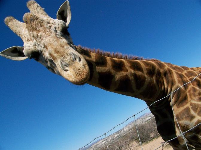 out of africa, arizona, preserve, giraffe