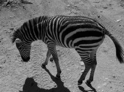 out of africa, arizona, preserve, zebra