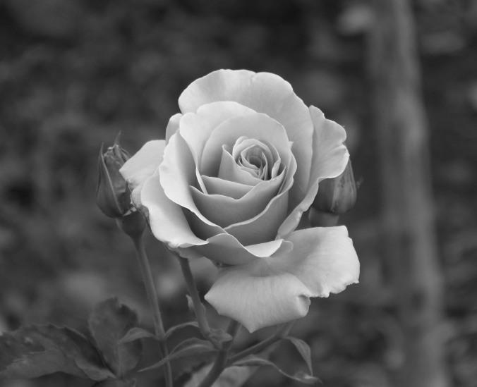 rose, black and white, photography, Arizona