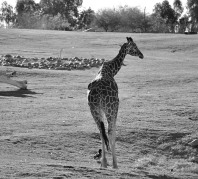 black and white, animals, giraffe