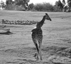 black and white, animals, giraffe