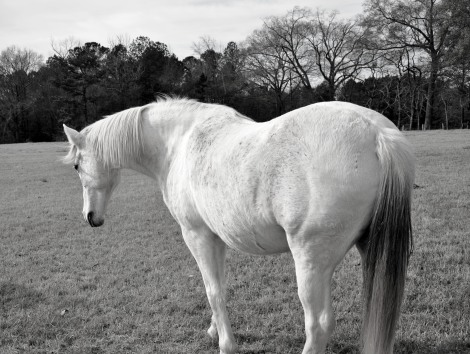 black and white, animals, horse