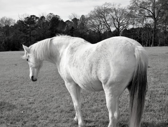black and white, animals, horse