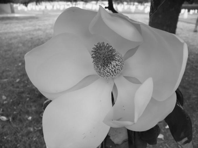 Magnolia blossom, Washington D.C., black and white, photography