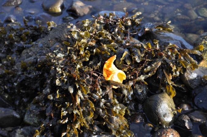 seashell, seaweed, Oban, Scotland