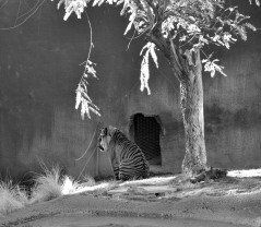 black and white, animals, tiger