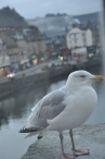 Seagull, Oban, Scotland, UK