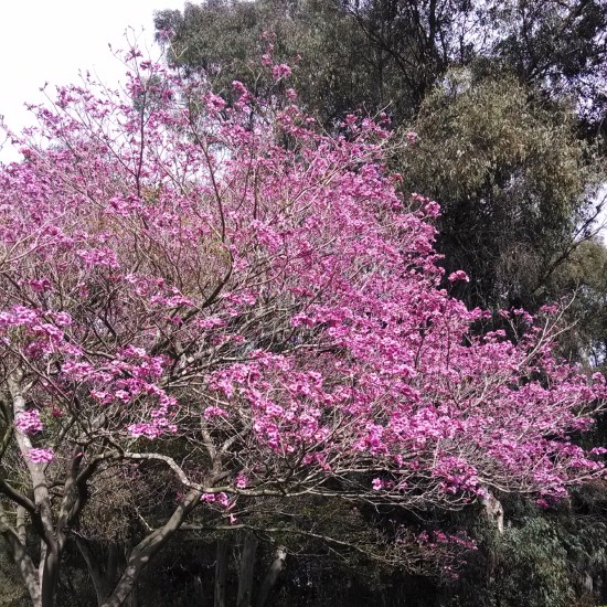 cherry blossom, tree