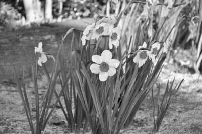 Alabama, flowers, black and white
