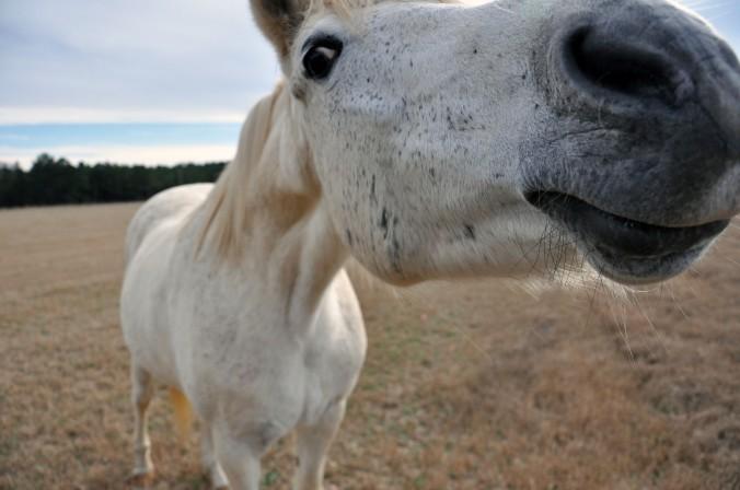 horse, nose, farm, Alabama