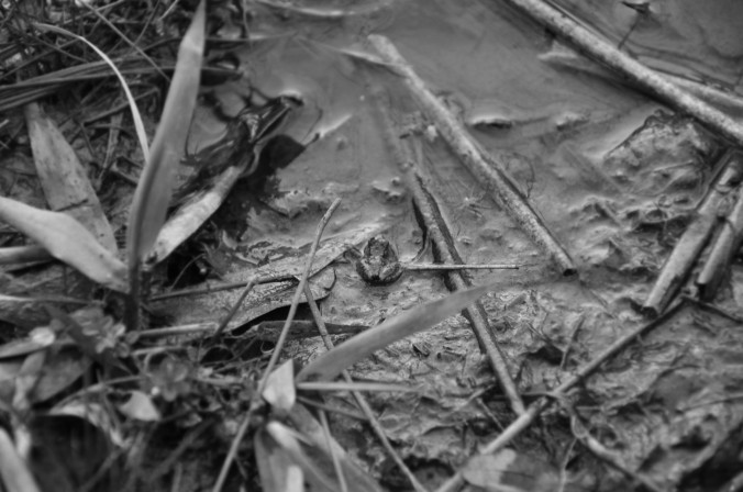 Frog, nature, wildlife, Alabama, black and white