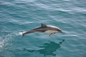 Dolphin, Pacific Ocean, California