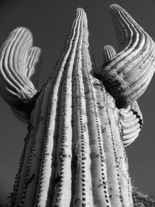 saguaro, Tucson, Arizona, black and white, photography