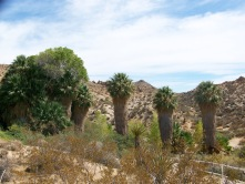 Trees at Cottonwood Spring, Joshua Tree National Park, California