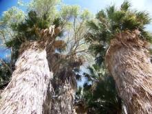 Trees at Cottonwood Spring, Joshua Tree National Park, California