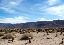 Cacti, Joshua Tree National Park, California
