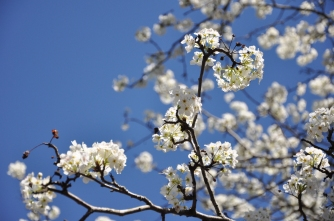 blossoms, blue skies
