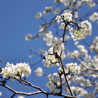 blossoms, blue skies