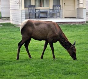 Yellowstone National Park, female elk grazing