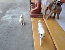 Cambodia, Cats