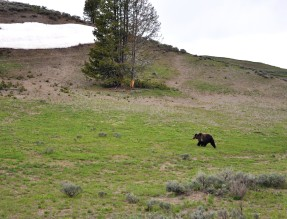 Yellowstone National Park grizzly bear