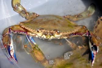 Mexico, crab