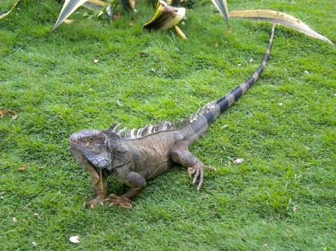 Ecuador, Iguana Park