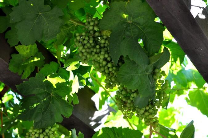 grapes Mission San Juan Capistrano, California