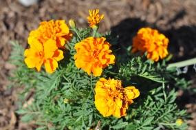 flower, Mission San Juan Capistrano, California