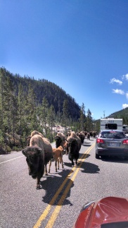 Yellowstone National Park bison on roadway