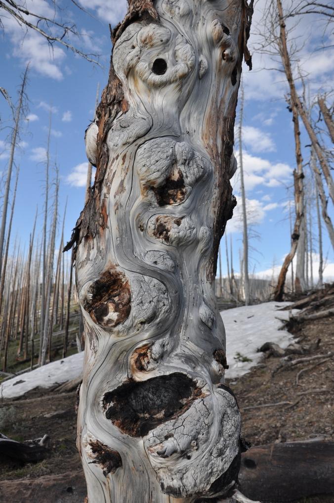 yellowstone national park, tree