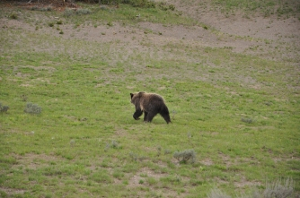 Yellowstone National Park, grizzly bear