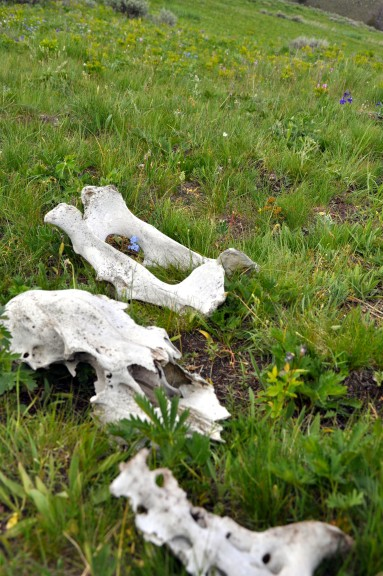 Yellowstone National Park, bones