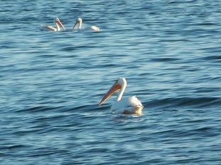 So many pelicans!