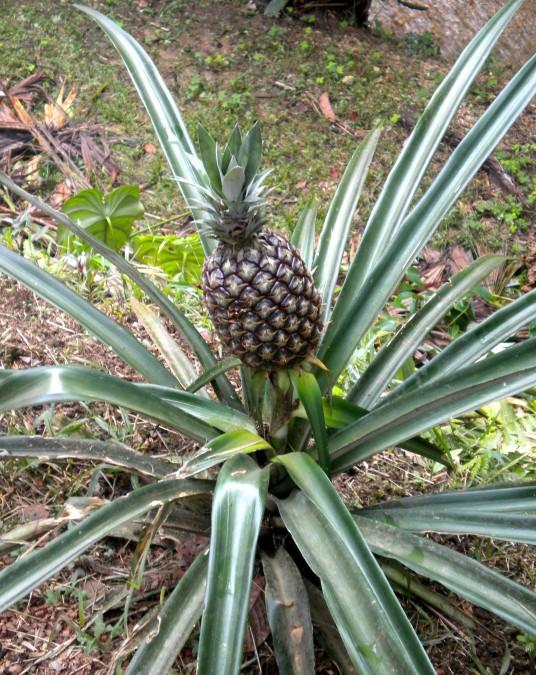 Ecuador, pineapple