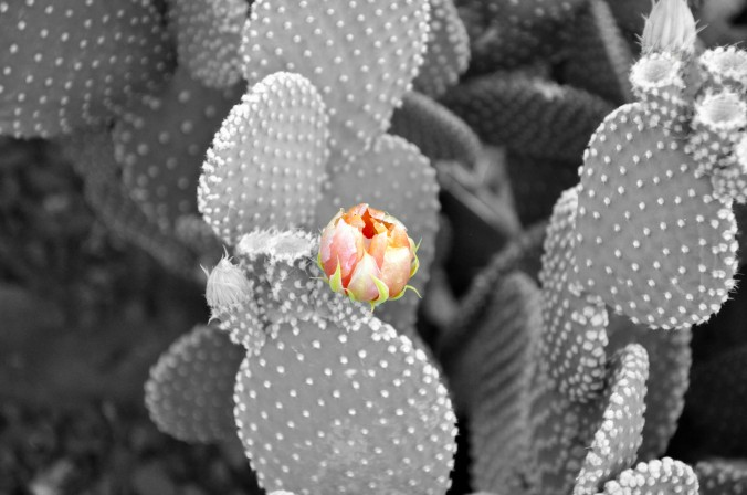 cactus with bloom black and white