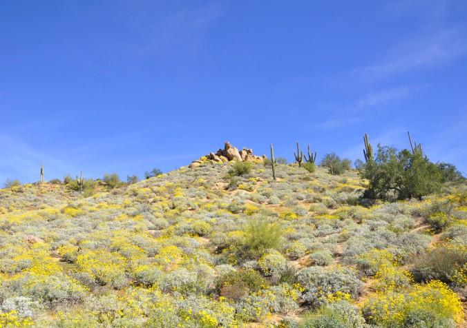 wildflowers saguaro cactus spring in Arizona