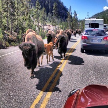 Yellowstone buffalo herd