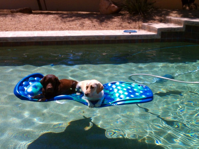 dogs on float in swimming pool
