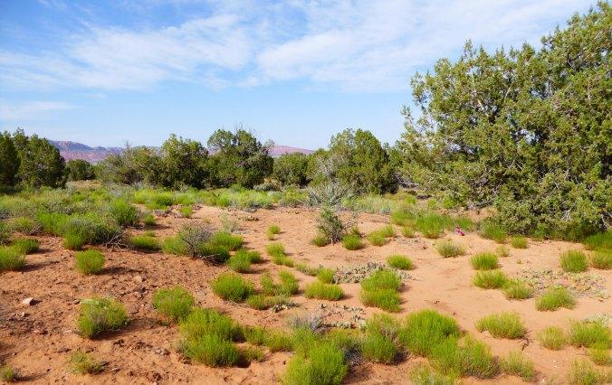 green scrub grass in the desert, Arizona