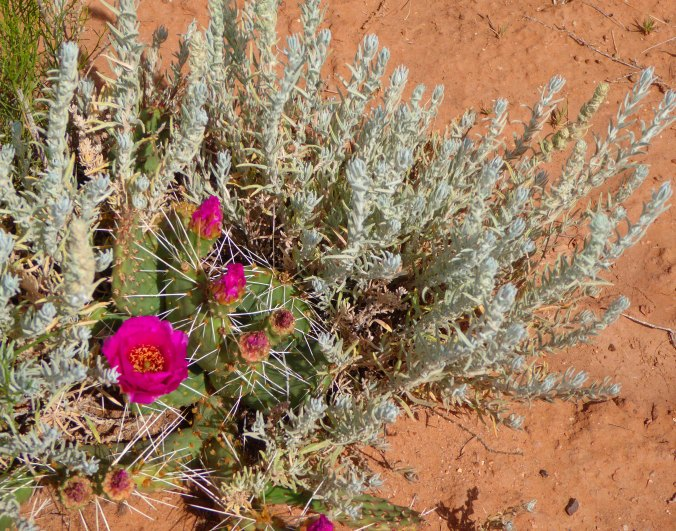 purple prickly pear blooms, Arizona desert