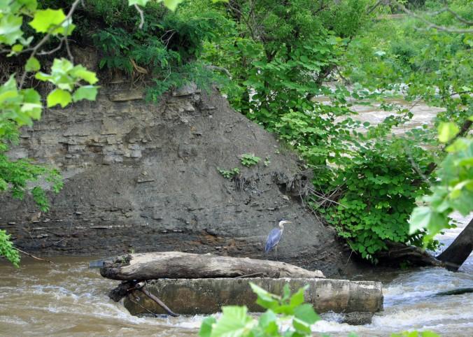 Cuyahoga National Park, Towpath Trail, Cuyahoga River, Bird