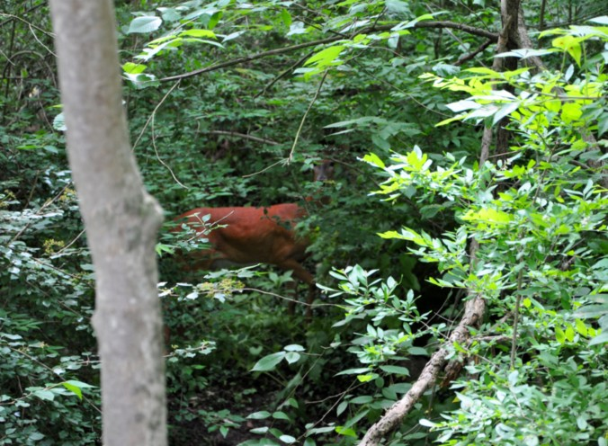 Cuyahoga National Park, Towpath Trail, Deer