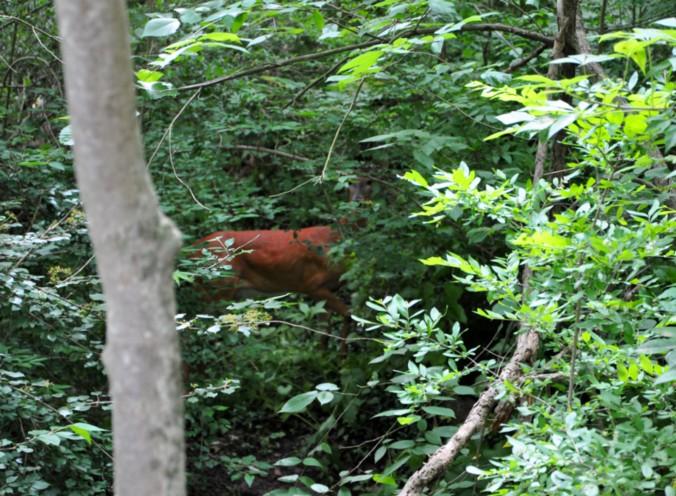 Cuyahoga National Park, Towpath Trail, Deer