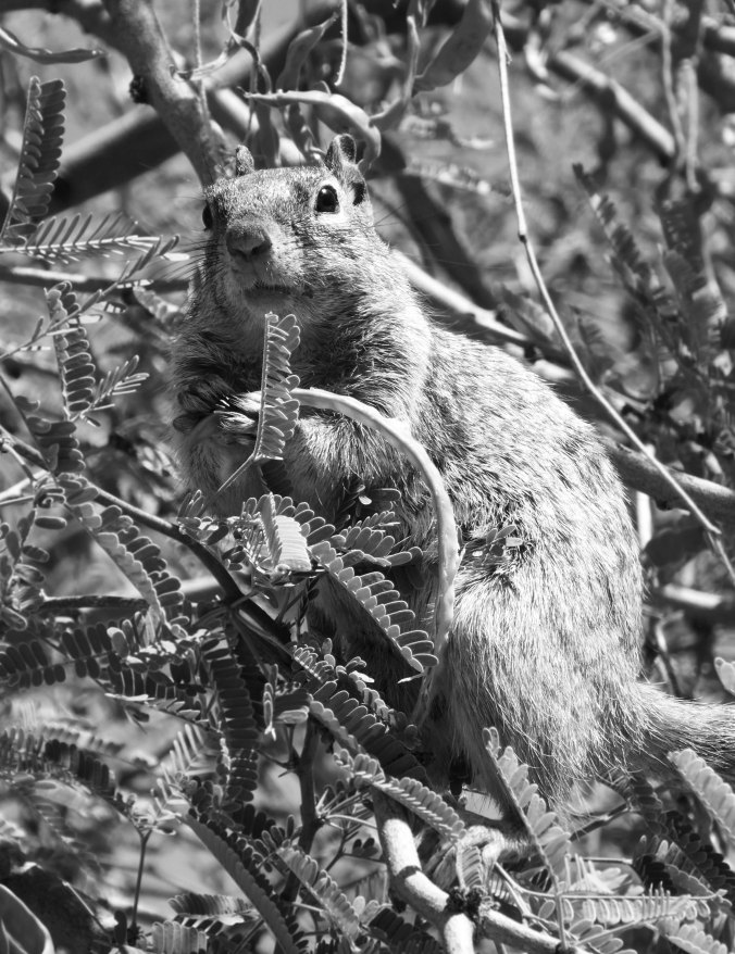Squirrel in tree with nut, black and white