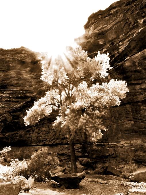 Arizona, tree, sepia