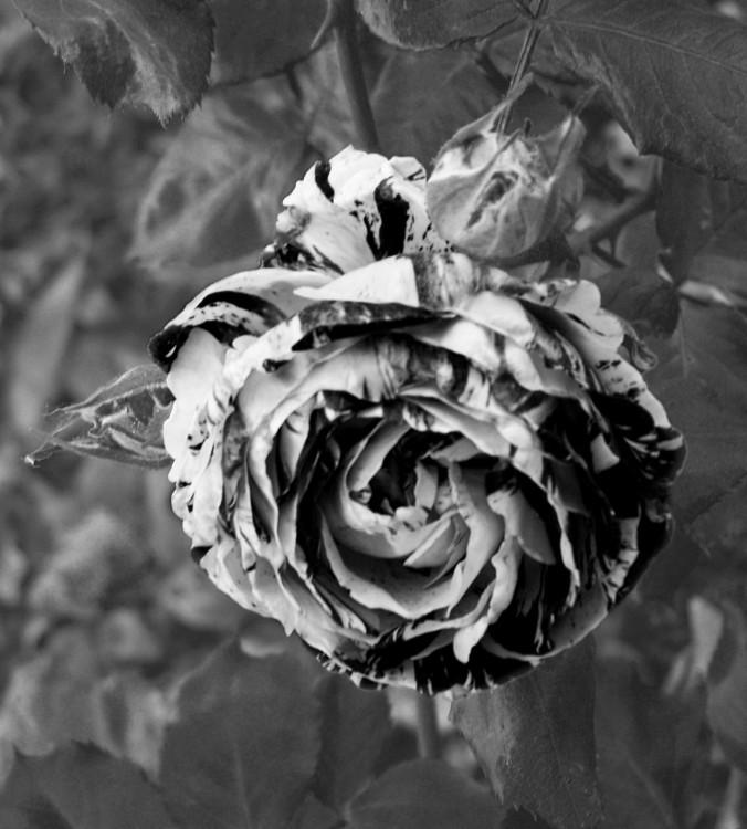 Arizona flower, black and white