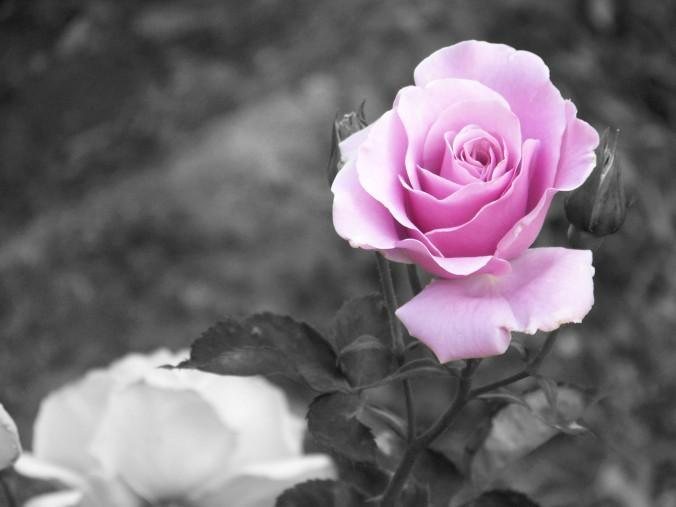 Arizona, purple rose